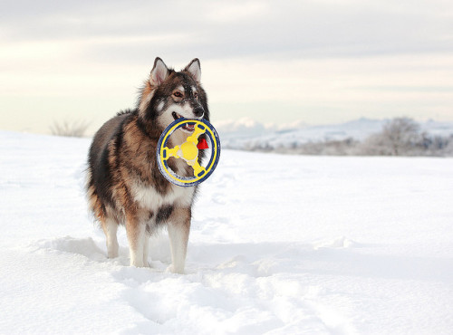 ihavelotsofdogs:  Loki (Utonagan) by Grant Glendinning on Flickr. Utonagan  UTONAGAAAAAAAAAN! <3