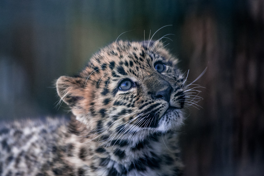 "(via 500px / Photo ""Leopard"" by Peter Hausner Hansen)"