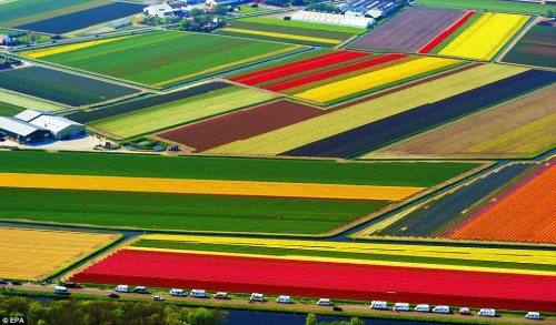 Earth Porn of the Day: Tulip fields in Holland, Netherlands. You know, in case you need a new wallpaper. via