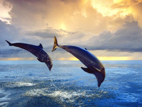 WHIMSICAL WEDNESDAY DOLPHIN POEM Dolphins enjoy each other's company but they also enjoy the freedom of their individuality Once they've relished their time away they reunite with their mate frolicking in the vastness of the blue harmony each bringing their uniqueness and similarities to their unity —Anna M. Poore aka Anna M. Cordova