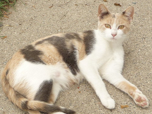 Calico Kitty by Philosopher Queen on Flickr.
