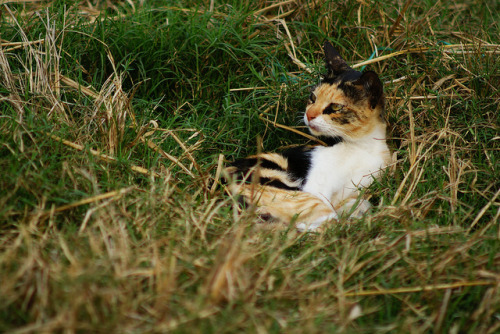 Calico by Black_Claw on Flickr.