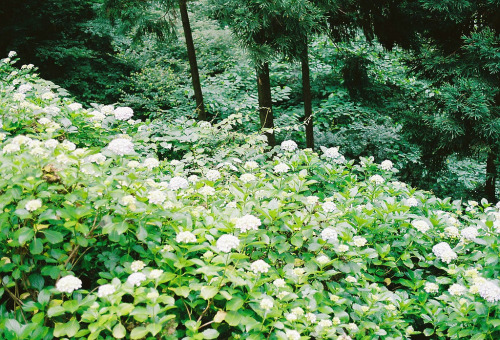 over-ture:  hydrangea (by srbh.1002)