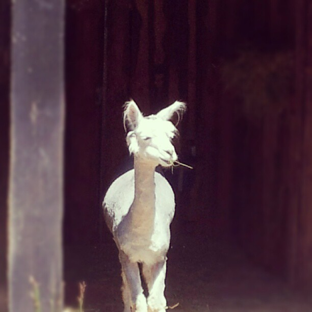 Stoned alpaca. #germany  (Taken with Instagram)