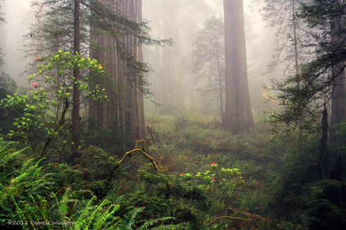 woodendreams:  (by P Winders)  Redwood National Forest, California, US.