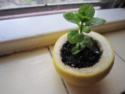 Use a lemon, orange or a grapefruit to start your seedlings. Plant the entire thing in the ground and the peels will compost directly into the soil to nourish the plants as they grow.