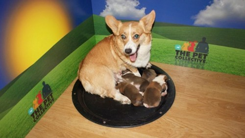 thedailywhat:  Corgi Cam of the Day: YouTube's first 24-hour animal stream would be a Corgi Cam of 2-week-old cuteness. But no complaining here. And if these corgi pups aren't enough for you, explore has launched a new live cam of a half-dozen service puppies in training. Best Wednesday ever. [petcollective]  Korgi-cam. Remember web cams? Apparently they aren't boring yet.
