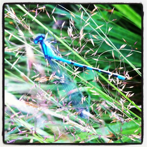 Dragonfly in the grass at Pitt Lake #intercer #fly #dragonfly #insect #nature #instanature #lake #green #blue #wings #beautiful #pretty #color #outdoor #outdoors #plant #plants #black  (Taken with Instagram)