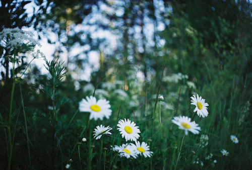waterguns:  daisies by Liis Klammer on Flickr.