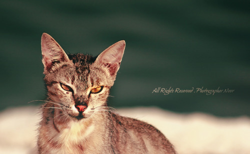 Some CAT !  All Rights Reserved © photographer NoorMSQ ♥  Canon550d \ 2012 ♥