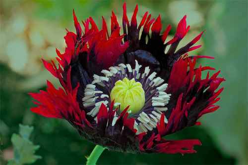 snowonredearth:  Red Poppy by Linda Cochran on Flickr.