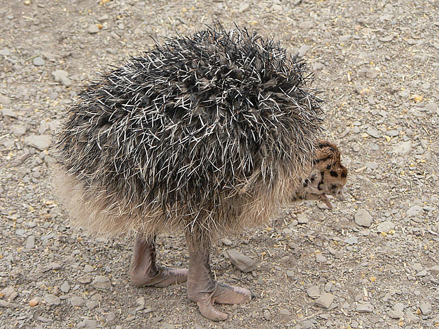 fat-birds:  Baby Ostrich by LaertesCTB on Flickr. fluffy ostrich bum