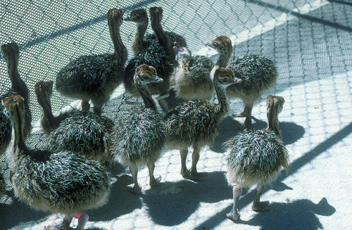 307_Baby Ostrich Melba by Idaho State Dept of Agriculture on Flickr. Look they're like walking feather dusters!