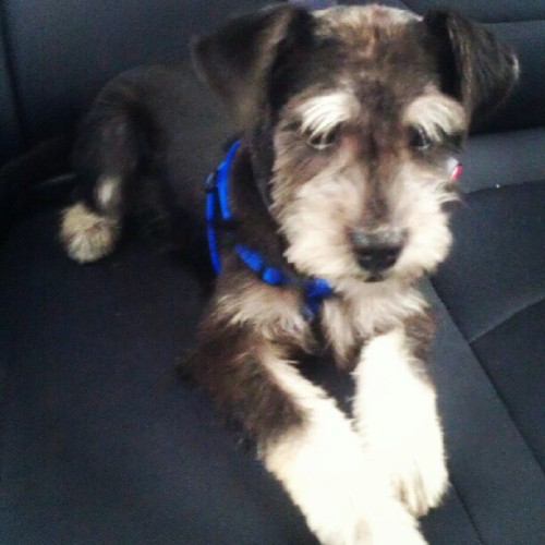 Remsters and his new big boy haircut… He looks like such a schnauzer now!