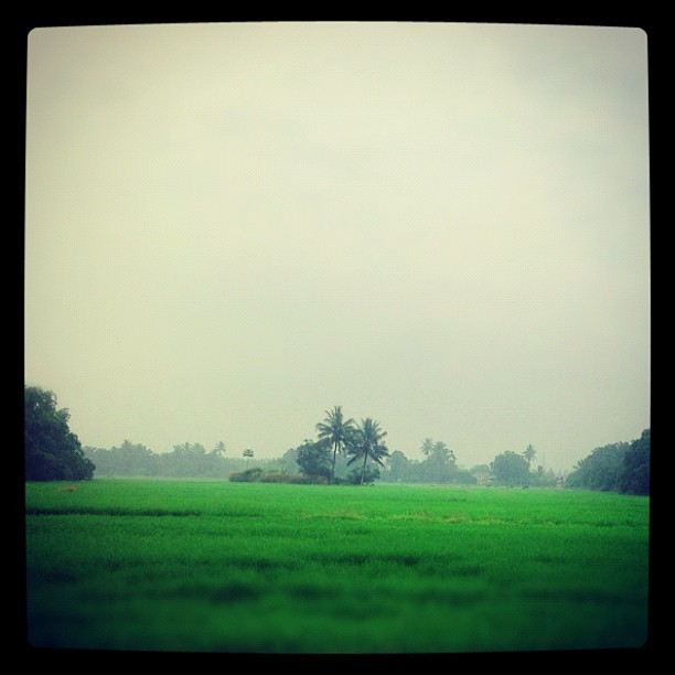 Kampung paddy field in Malaysia. #village #photography #nature #instasky #cloud #instacloud #retro #summer #hot #coconut #blue #skygram #color #tree #green #blue #crop #jungle #kampung #beautiful #field #life #paddy #greenfield #field #agriculture #cultivation  (Taken with Instagram)