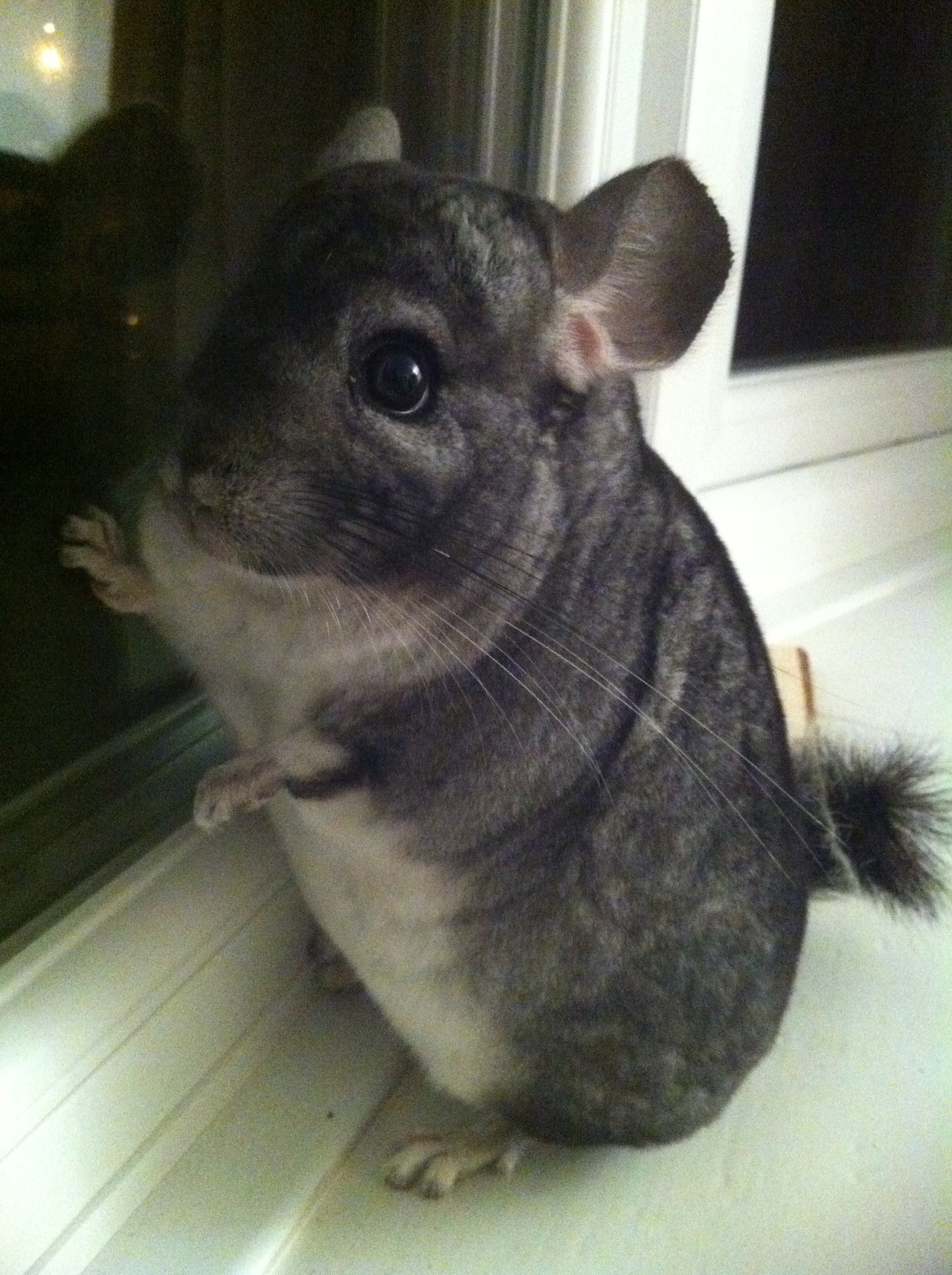 dailychinchilla:  This is my lovely chinchilla, Puffy! Every evening when we let him out and he's not chewing our house down or hopping around like mad, he sits on the windowsill and looks pensive. When someone walks past, he hops around a bit and preens. He absolutely loves attention! (via kerfufflesalot)