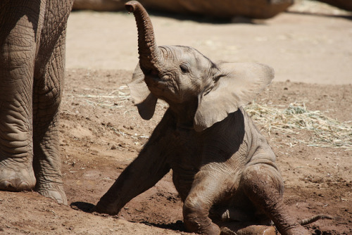 animals-animals-animals:  Calf in the Mud (by San Diego Shooter)