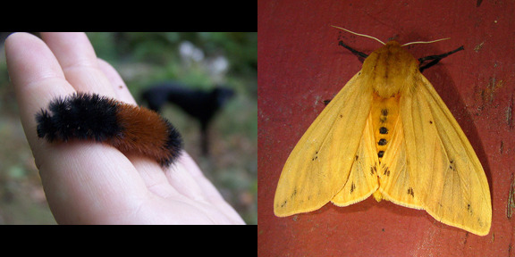 The wooly bear caterpillar can live for 14 years before it turns into an Isabella tiger moth.  Photo credit: AlyssssIA/kestrel360