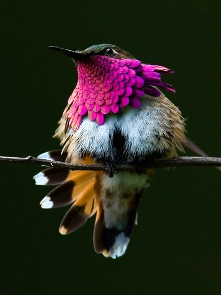 fat-birds:  Wine-throated hummingbird by Jose Yee. (x)