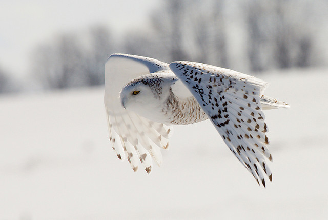 airudite:  Snowy Owl in Flight by Alex Thomson13 on Flickr.