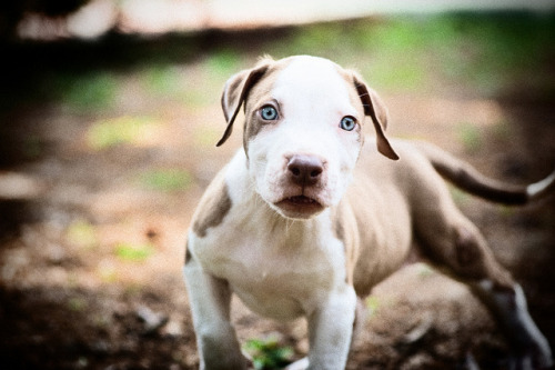 worldlyanimals:  Pitbull Puppy (Chandrahadi Junarto)
