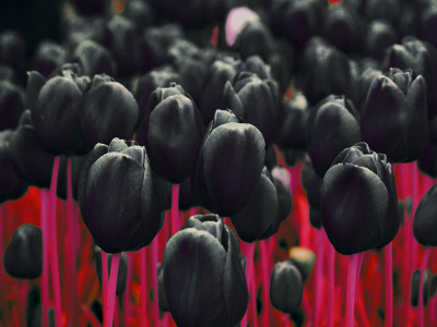 Black Tulips by D4Rud3 on deviantART.