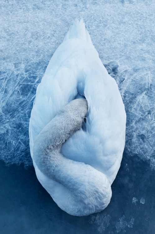 kingdom-of-animals:  Swan by Victor Selinger.
