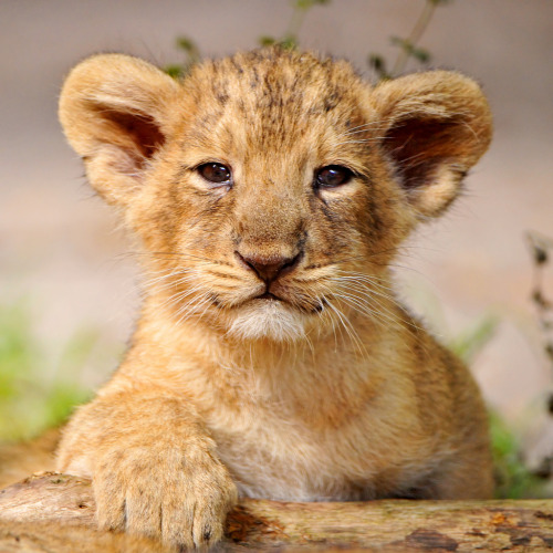 theanimalblog:  Proud posing cub! (by Tambako the Jaguar)