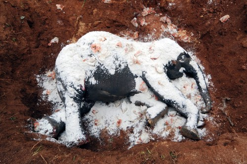 A dead elephant was sprinkled with salt to aid its decomposition in a grave in Kurkruia, India on Thursday August 2. The elephant was hit by a train when it crossed a railway line with its herd.
