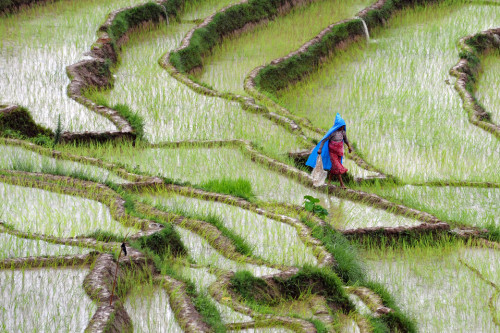 A farmer walked through a rice paddy field on the outskirts of Katmandu, Nepal, Thursday July 19.