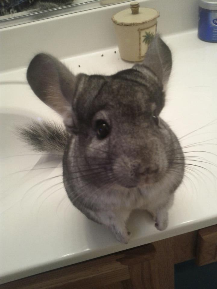 dailychinchilla:  This is my chinchilla Lucy, she is 2 years old, & when you tell her you love her, she gets really sweet by getting close to your tummy & laying down next to you. :) (via dolphintears2)