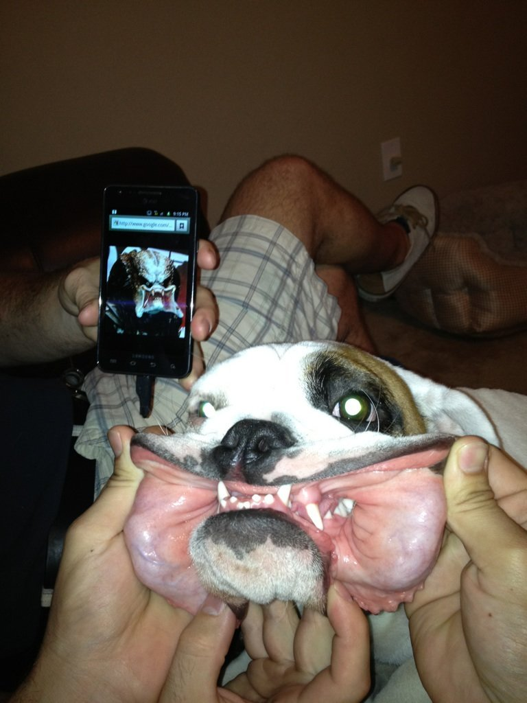 bunnyfood:  Predator Dog  This looks just like my bulldog!