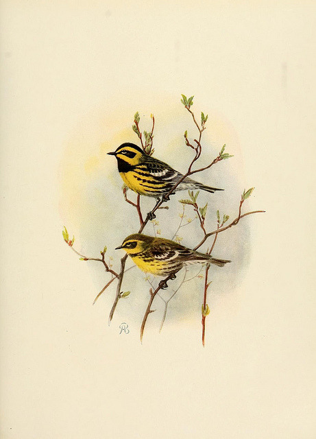 Townsend's Warbler by BioDivLibrary on Flickr. The birds of California :. Los Angeles ;South Moulton Company,1923..biodiversitylibrary.org/page/39754549