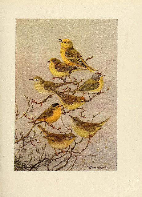 dendroica:  Warblers by BioDivLibrary on Flickr. The birds of California :. Los Angeles ;South Moulton Company,1923..biodiversitylibrary.org/page/39754485