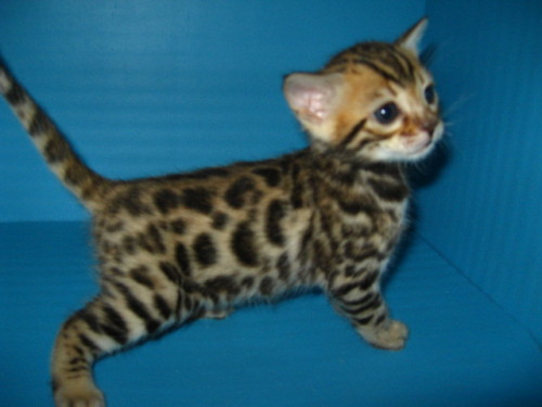 My future bengal kitty for portland