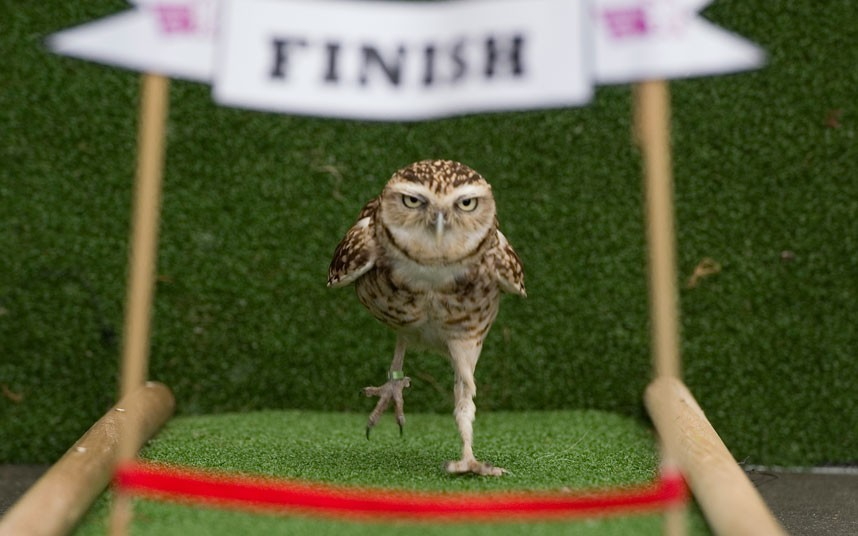THE WINNER!! مع الفائز Bob the burrowing owl, star of the London Zoo's daily Animal Athletes in Action demonstration, runs a one hundred centimetre sprintPicture: Anthony Devlin/PA