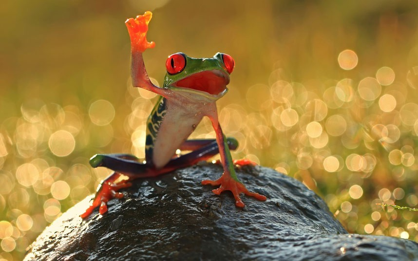 I'm the winner!!! أنا الفائز هههه A red-eye tree frog was captured by photographer Shikhei Goh. Shikhei spotted the friendly frog on a tree near to his home in Batam Island, Indonesia and bent down to take a picture. But just as Shikhei pressed the trigger on his camera, the amphibian threw its right arm in the air and struck a pose that looked like it was smiling and waving for the camera.Picture: Shikhei Goh/Caters