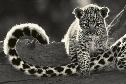 Tail Play:) by Beverly Joubert