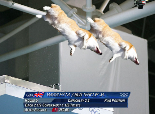 corgiaddict:  Hey! I loved everyone's idea of the synchronized diving corgis from the last post. The faces you drew were hilarious (and so cute!)I also wanted to do my part in making synchronized corgis better known. I give you… Olympic corgis! submitted by: kuthinks Cannot… stop… laughing!!! CORGILYMPICS!!! This is Shippo! You can follow his facebook page here: http://www.facebook.com/ShippoTheCorgi
