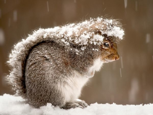 babychipmunk:  Squirrel in SnowPhotograph by Ray Yeager