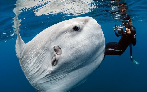 allcreatures:   A diver swims with a huge ocean sunfish off the coast of San Diego, California  Picture: Daniel Botelho / Barcroft Media (via Pictures of the day: 3 August 2012 - Telegraph)