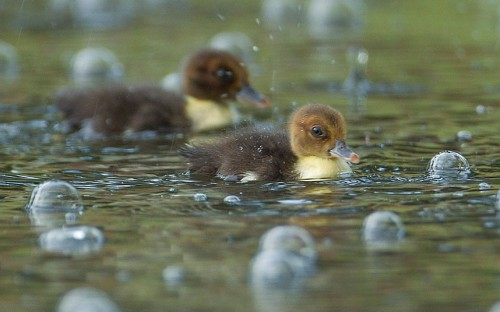 Muscovy ducklings swim between bubbles, caused by rain drops from an afternoon thunderstorm, at a pond in Pembroke Pines, Florida, US Picture: J Pat Carter/AP