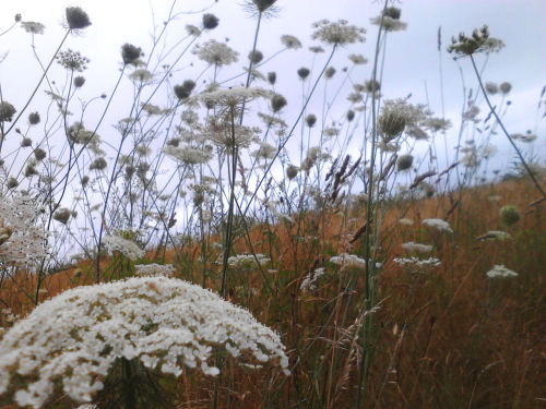 Fields of Queen Anne's Lace