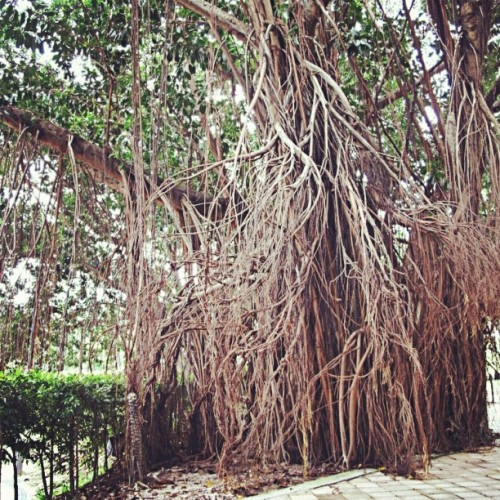 So many roots #plant #nature #banyan #ficus #roots #tree  (Taken with Instagram)