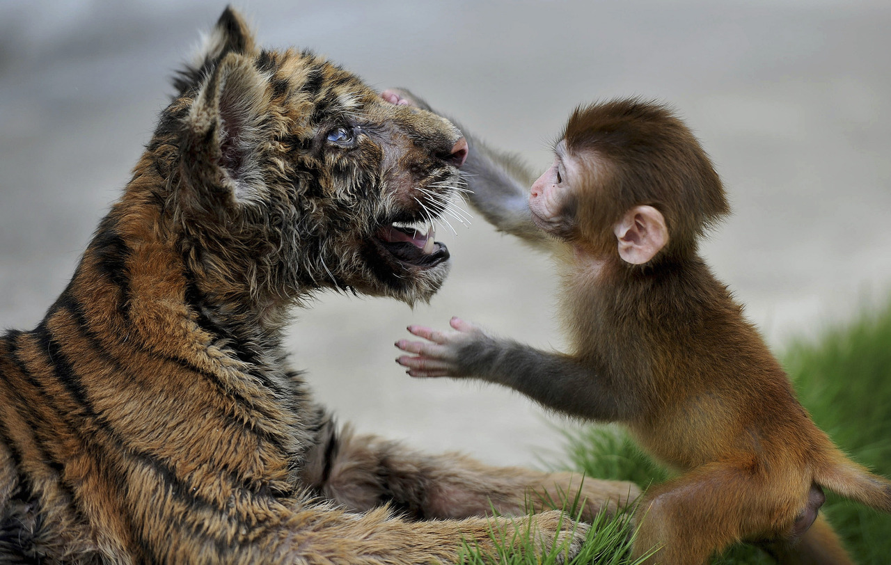 A baby rhesus macaque (Macaca mulatta) touches the face of a tiger cub as they play together at a zoo in Hefei, Anhui province, August 2, 2012. [REUTERS/Stringer] PHOTOS: The best Reuters images from the past 24 hours