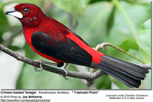 prettybirds:  Crimson-Backed Tanager