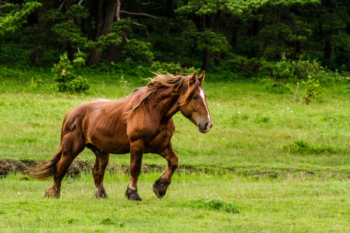 horsep0rn:  A Wild Horse in Northern Japan (by Michael—Paul)