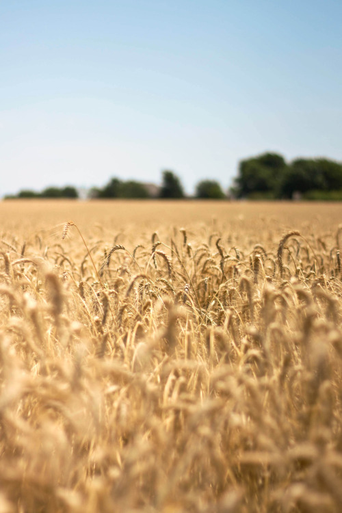 waving fields of grain. via ( afineseabird)
