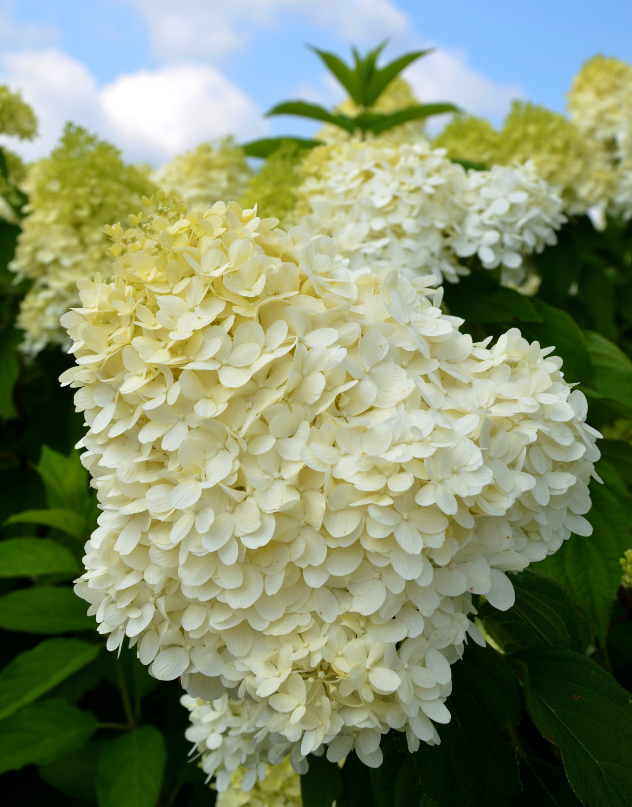 "Hydrangea paniculata ""Limelight""  Just one of many at the Arboretum at Penn State LIke their Facebook page for more photos."