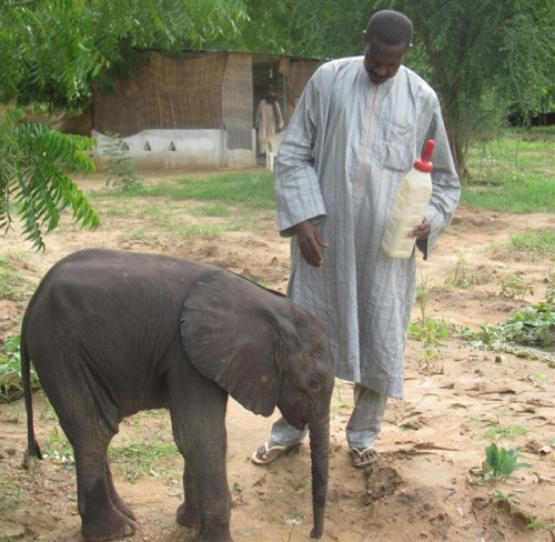 Baby elephant orphaned in slaughter finds a foster mom (Photo: SOS Elephants) A three-week-old elephant orphaned when his mother and two dozen other elephants were slaughtered in Chad last month appears to have been adopted by a foster mom, a nonprofit in the Central African country told NBC News. Nicknamed Toto, the male was being cared for by village officials when he ran away and later reached a nearby herd, said SOS Elephants founder Stephanie Vergniault.  Read the complete story.